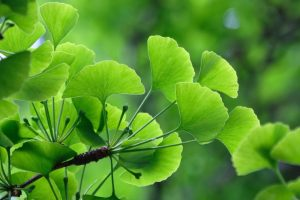 Ginkgo biloba, or gínko for short, is a tree from the ginkgo family.